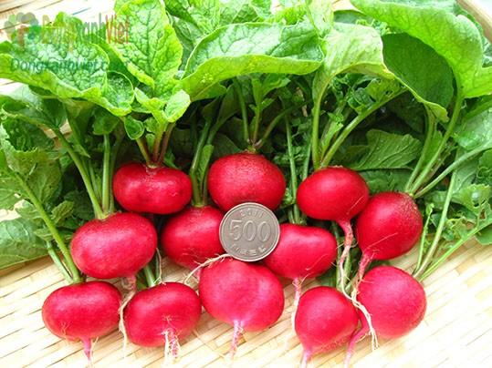 Hạt giống củ cải đỏ cherry
