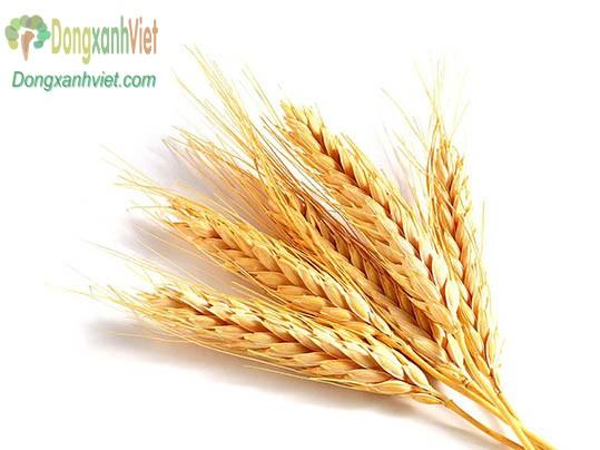 Lúa mạch làm rau mầm