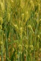 (CẦN MUA) Cần mua một lượng lớn lúa mạch/ lúa mì nhập khẩu