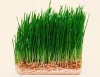 Cần Mua 100kg lúa mạch giống