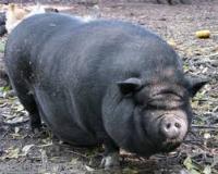 Mua Lợn Nái thải, Lợn Xề toàn Miền Bắc
