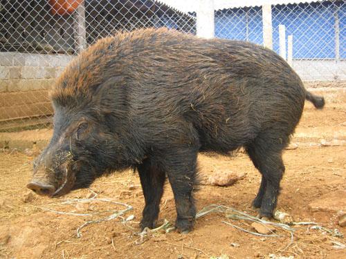 (Bán): bán lợn rừng