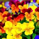 Hạt giống Hoa Pansy mini mix màu (Hoa Păng xê)