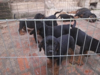 bán chó con dòng Rott