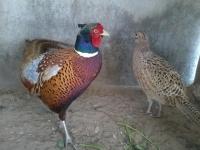 bán chim trĩ thịt giá rẽ tại tphcm