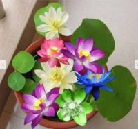 Hạt Giống Hoa Sen Nhật Mini Mix Smile Seeds - 5 Hạt
