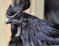 Gà thuốc ( lông đen, xương đen, thịt đen )