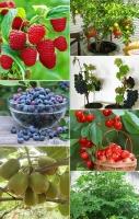mâm xôi, việt quất,  kiwwi, lựu, cherry