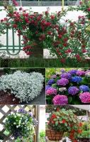hồng leo, baby trắng, cẩm tú cầu, hoa chuông, sen cạn