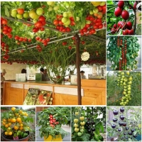 cà chua leo giàn, cà chua thân gỗ, cà chua bi vàng, cà chua đen, cà chua bi chùm đỏ