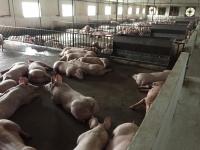 Bán thịt lợn chất lượng cao