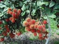 Cây giống: Chôm chôm 2-3 năm cho trái bói