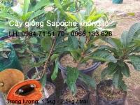 cung cấp cây giống sapoche khổng lồ
