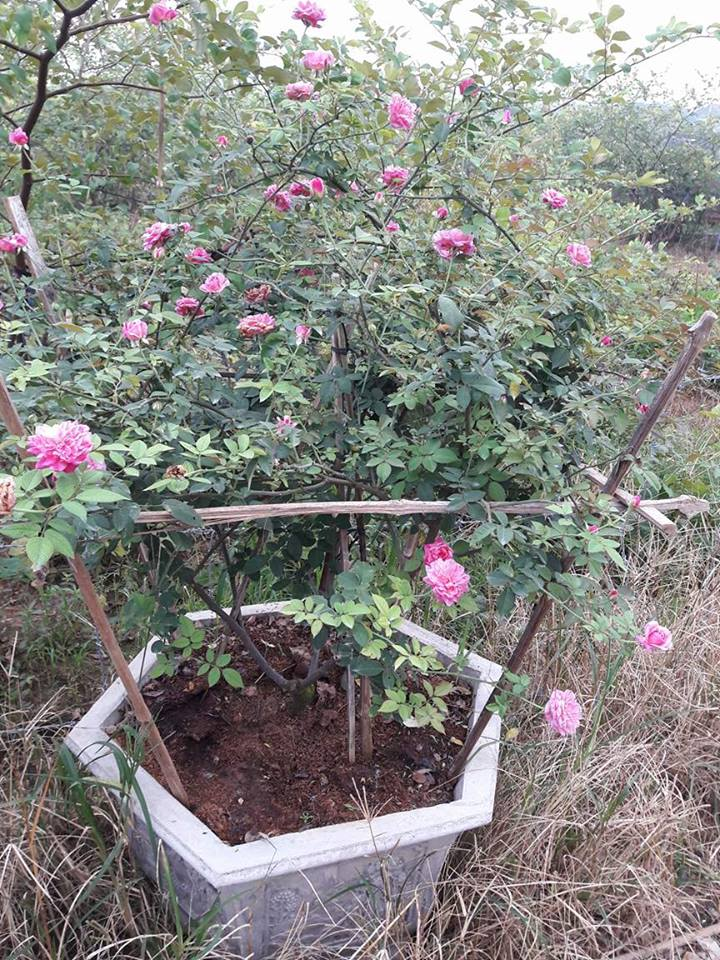 hồng Sapa