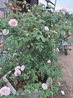hồng Vân Khôi
