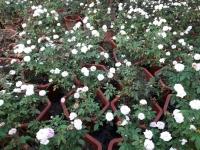 Hoa hồng: Ngọc lung linh