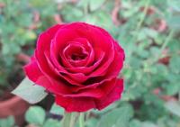 hồng Hoàng Tử