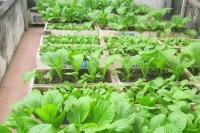 đất trồng rau cao cấp