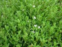 Cao khô cây bơ gai Petasites Hybridus extract