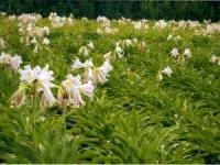 Cao khô trinh nữ hoàng cung – Crinum latifolium L. extract