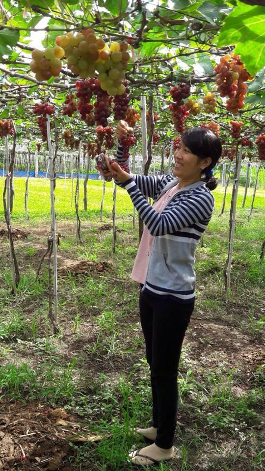 HÀNG HOT: Nho sạch Ninh Thuận do nhà trồng