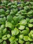Trồng rau thủy canh đơn giản tại nhà, thỏa thích rau ăn ( Phần 2 )