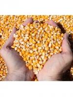 Bắp hạt nhập khẩu ( Argentina, Brazil) giá tốt