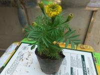 Hoa TẾT -  Cúc Vạn Thọ