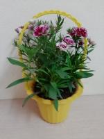Hoa Cẩm Chướng trong Giỏ treo màu vàng, đường kính giỏ 17cm, cao 13cm!!!