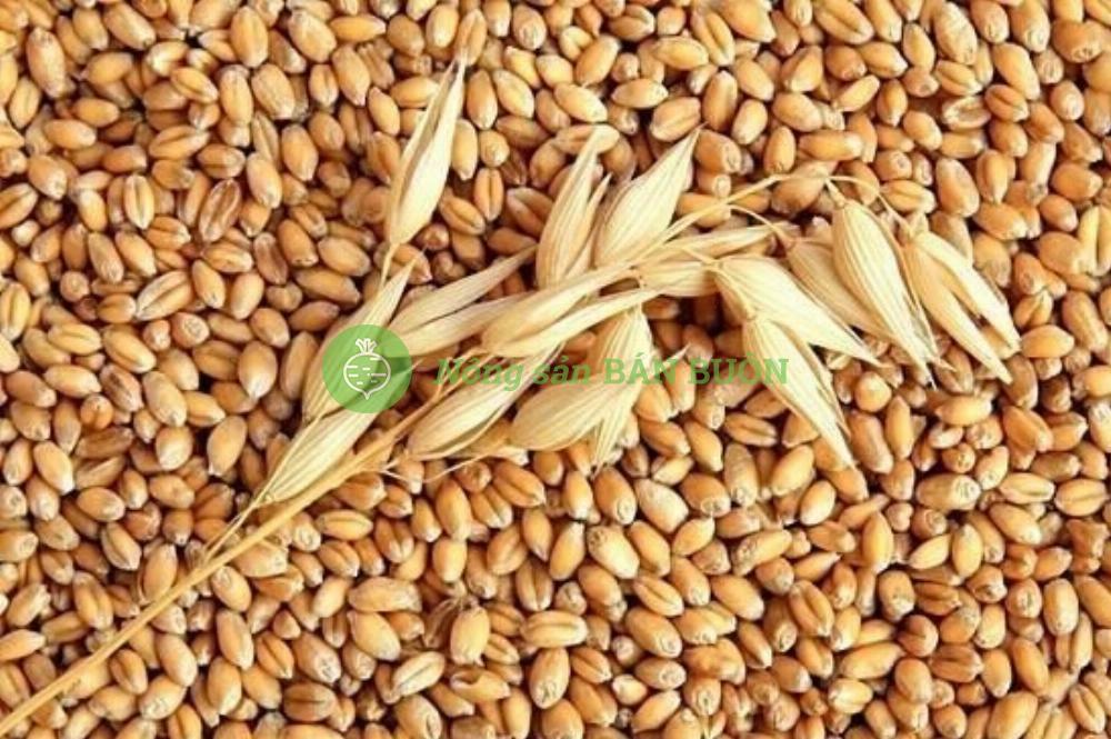(CẦN MUA) lúa mì để chăn nuôi