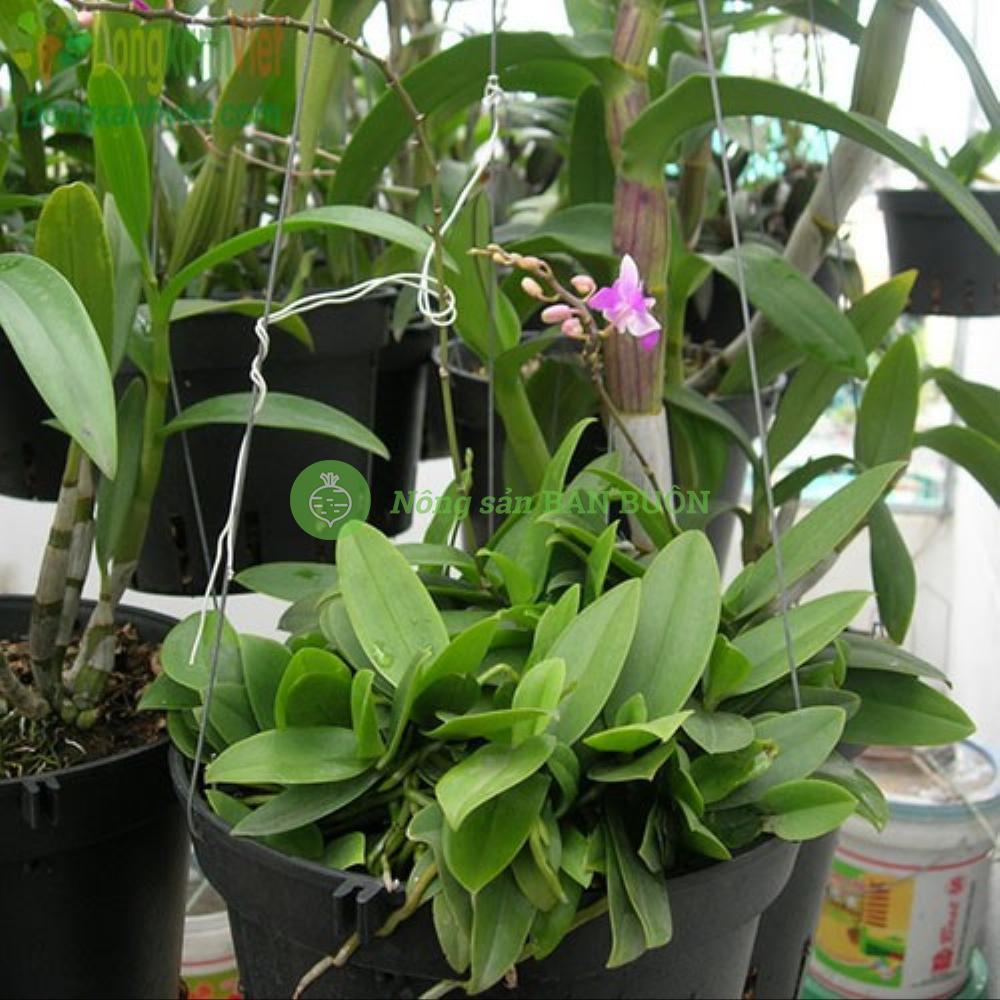 Giá thể trồng lan