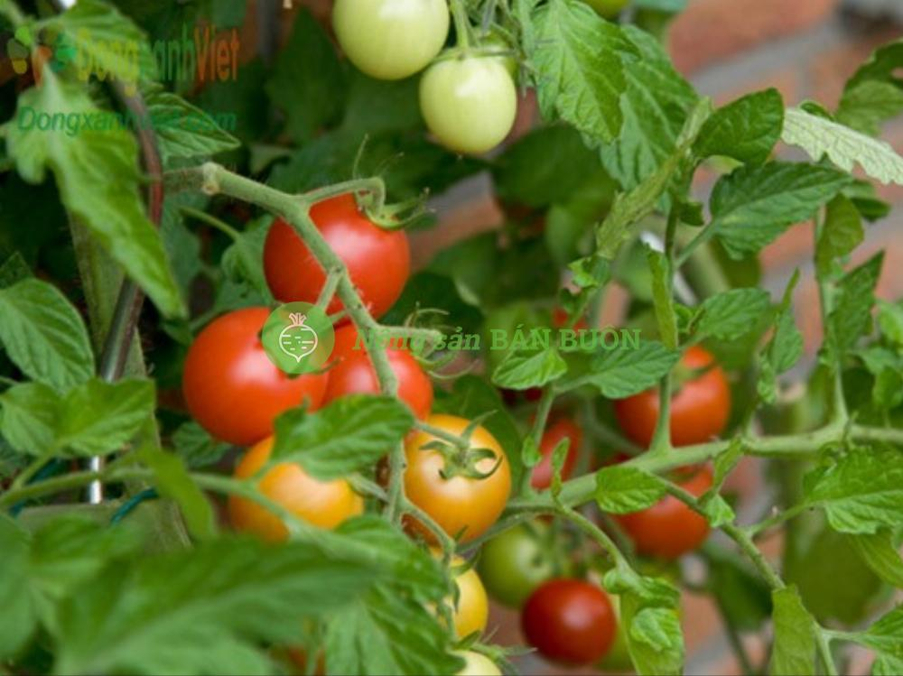 Hạt giống cà chua bi