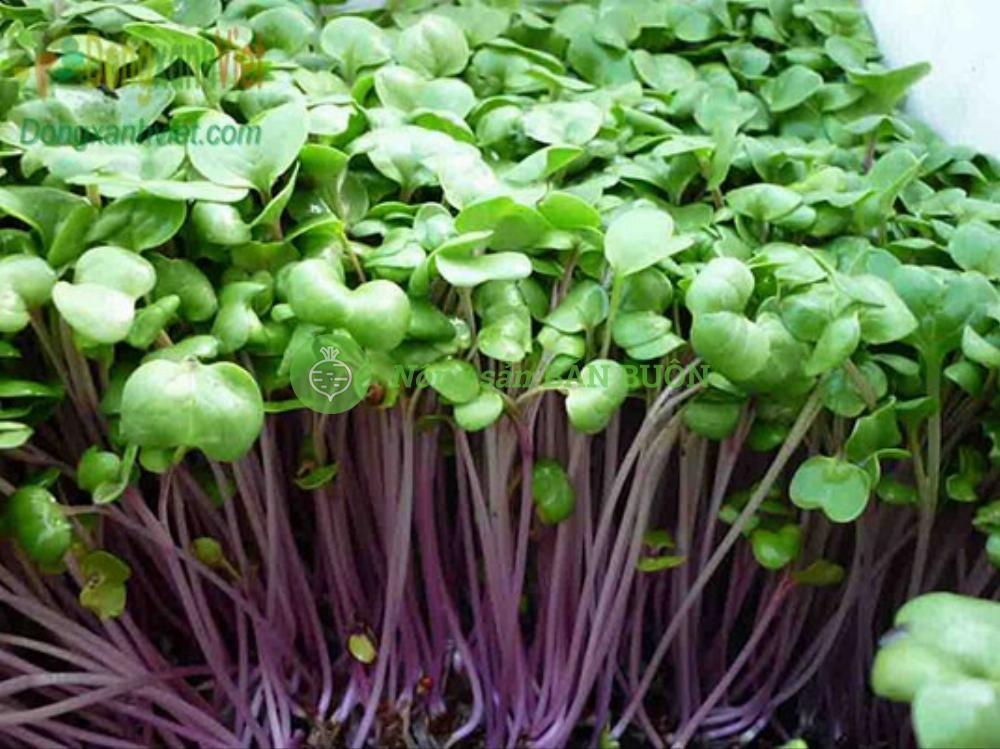 Hạt rau mầm củ cải đỏ
