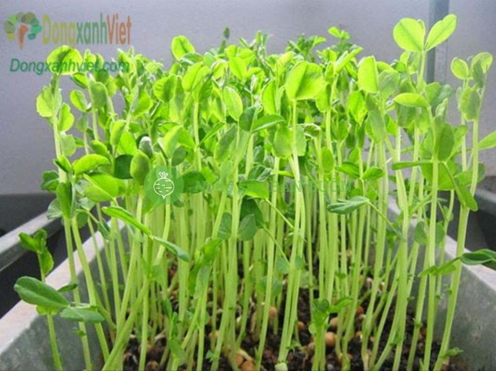 Hạt rau mầm đậu hòa la