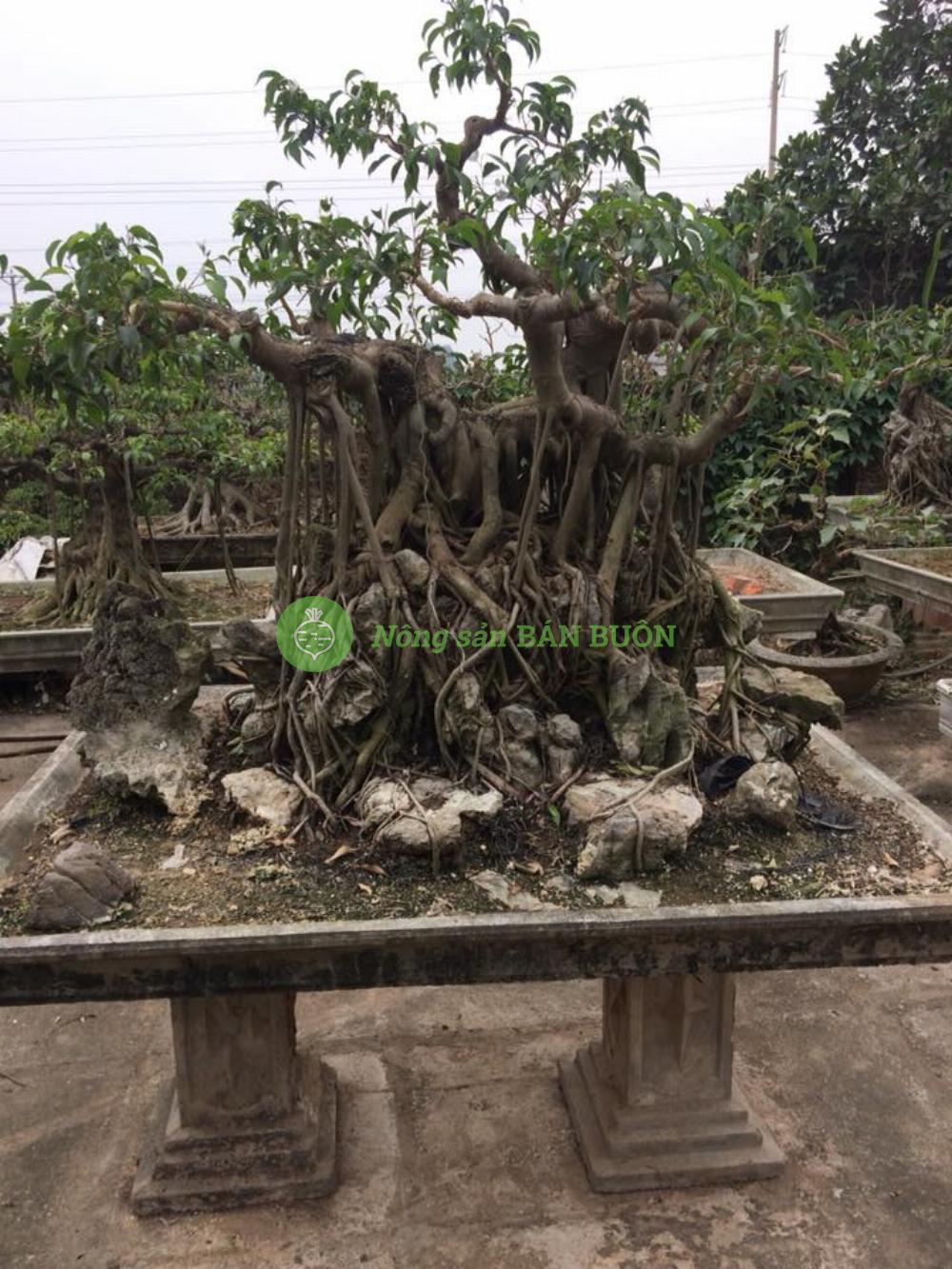 bán cây cảnh, cây bonsai