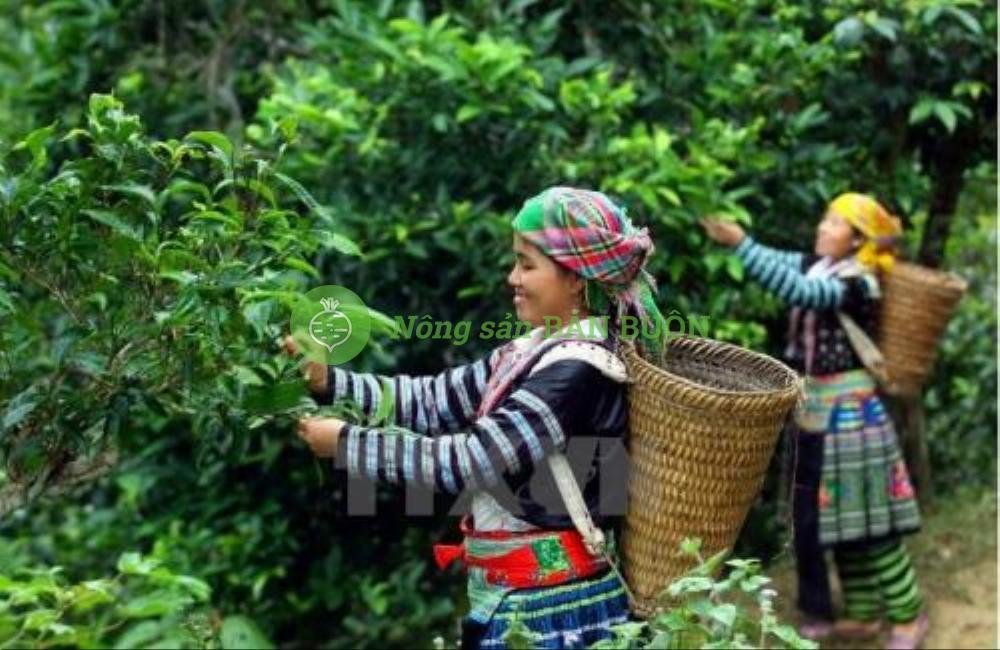Chè Ô Long Tuyết Shan