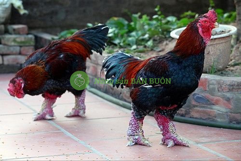 (Cần mua): Mua gà Đông Tảo F1, F2, F3, Trọng lượng từ 3 đến 4 Kg/con