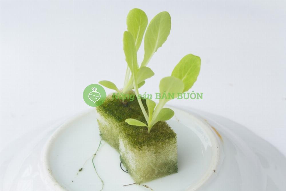 Xốp ươm hạt trồng rau thủy canh