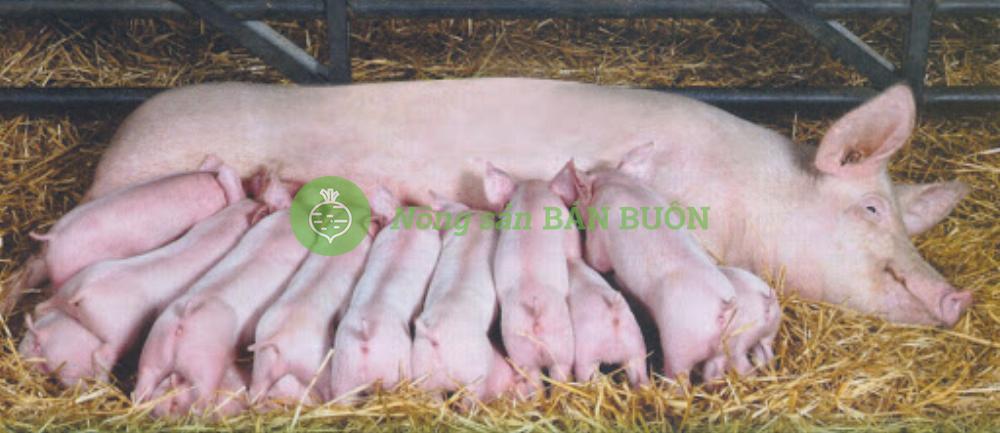 Cần mua, và bán lợn nái thải, lợn xề thải số lượng lớn