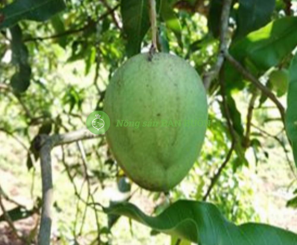 Bán Xoài tròn Yên Châu (1 tấn)