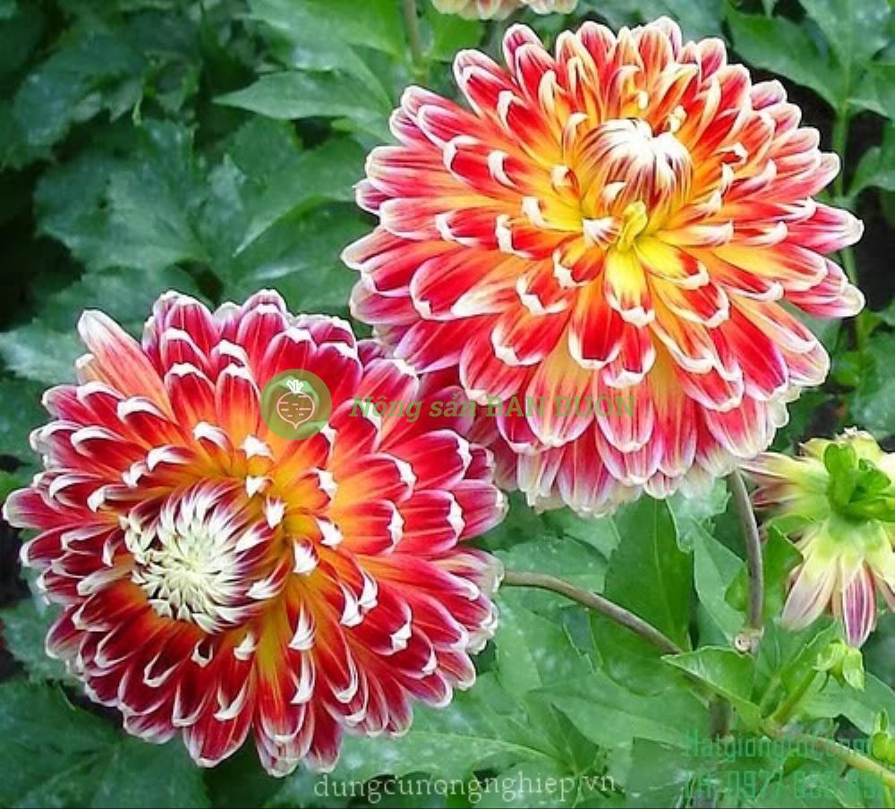 Hạt giống hoa Thược dược lùn Mix (Dahlia Hybrida)