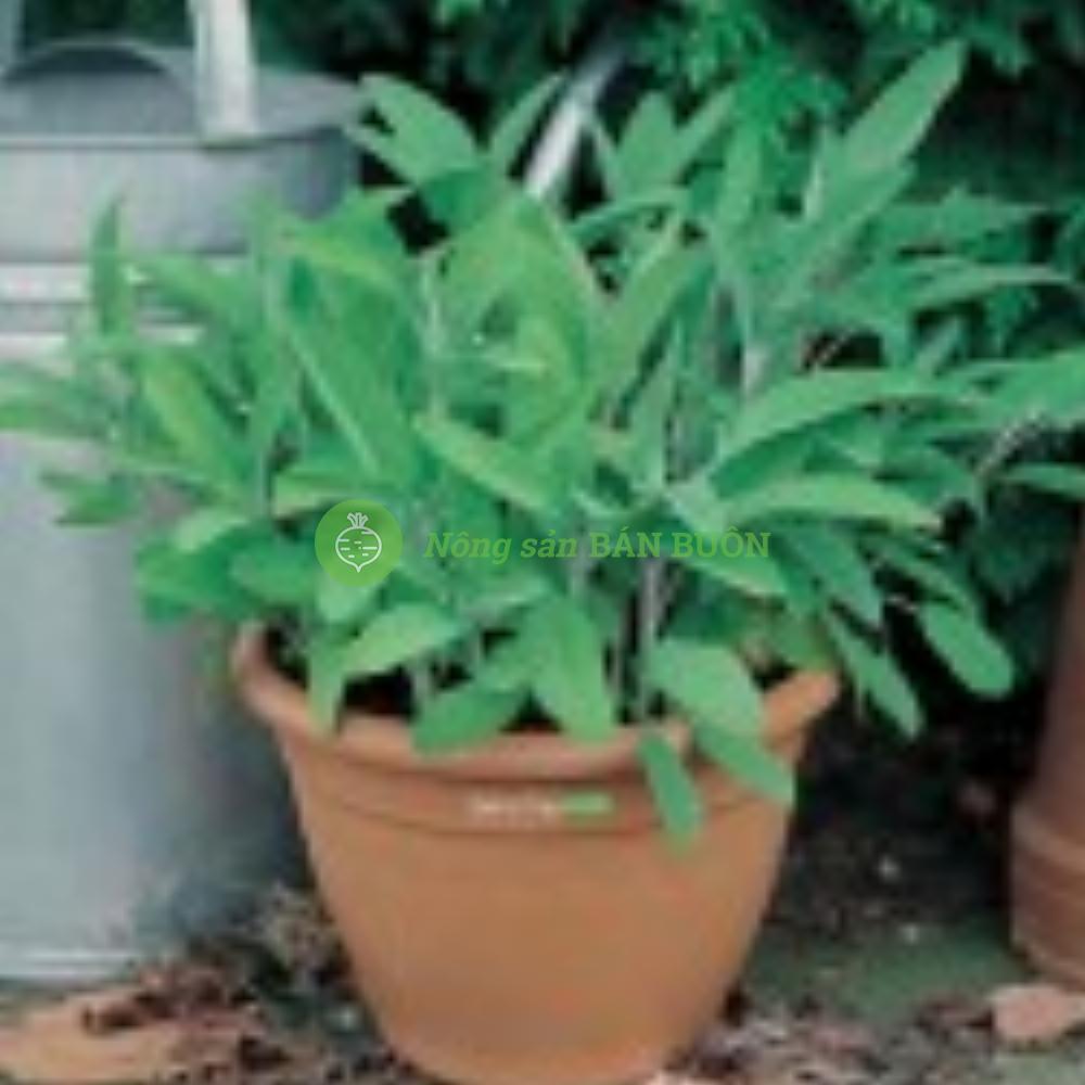 Hạt giống thảo mộc cao cấp-cây xô thơm