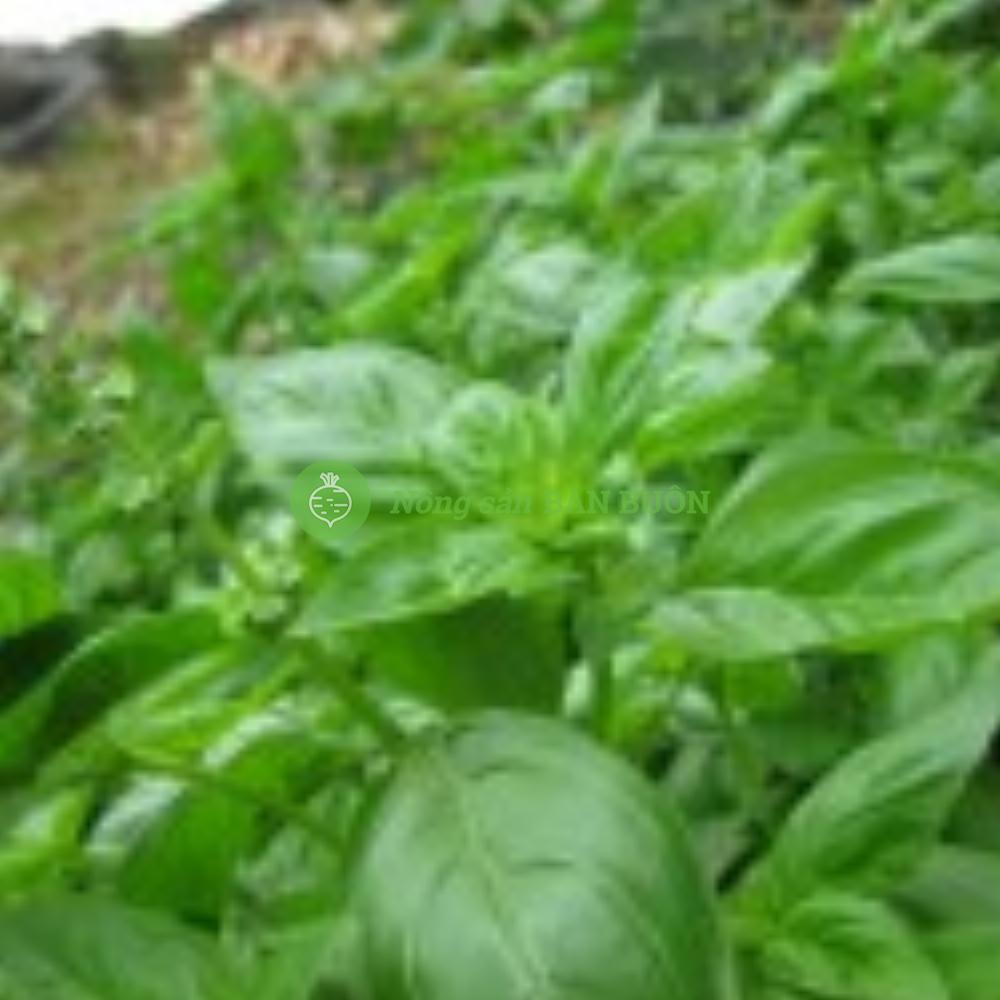 Hạt giống Húng tây ngọt Genovese hữu cơ