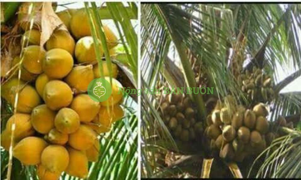 bán Giống dừa xiêm lùn độc đáo chỉ 3 năm đã cho trái
