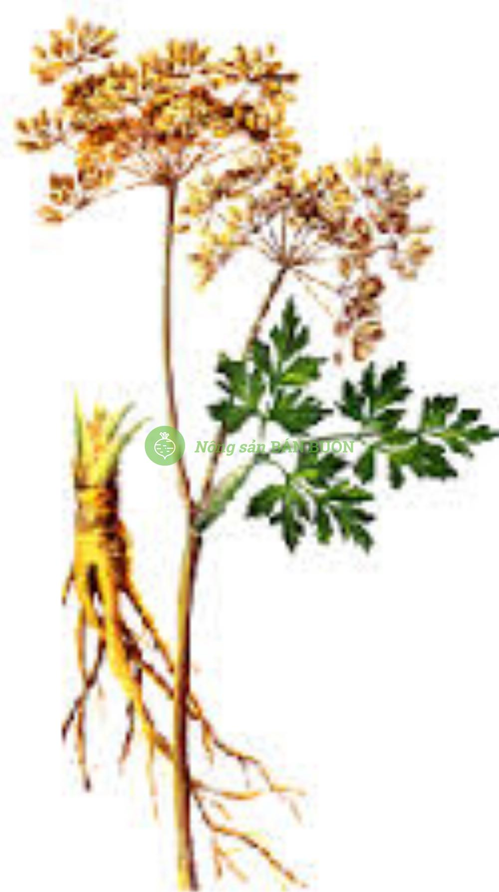 Cao khô độc hoạt Radix Angelicae extract