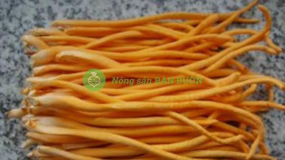 Cao khô đông trùng hạ thảo – cordycep sinensis extract