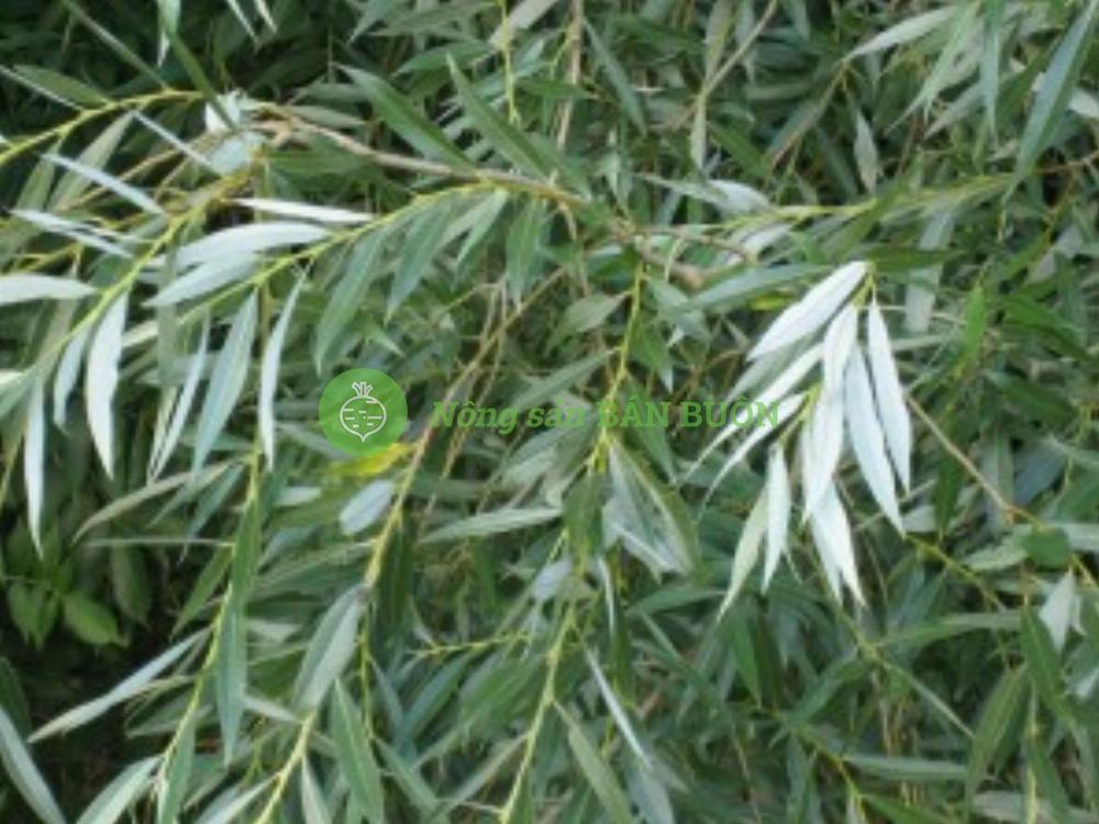 Cao khô vỏ cây liễu trắng White willow bark extract