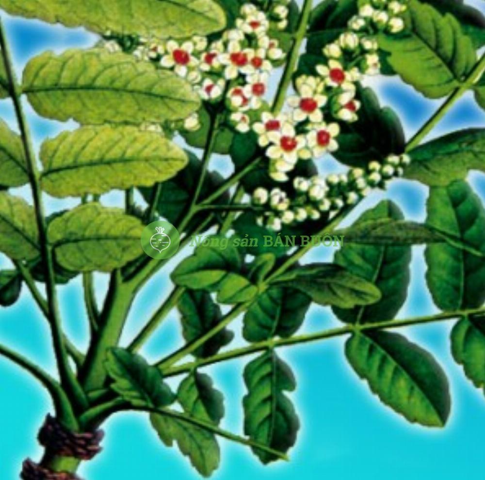 Cao khô nhũ hương – Boswellia serrate extract