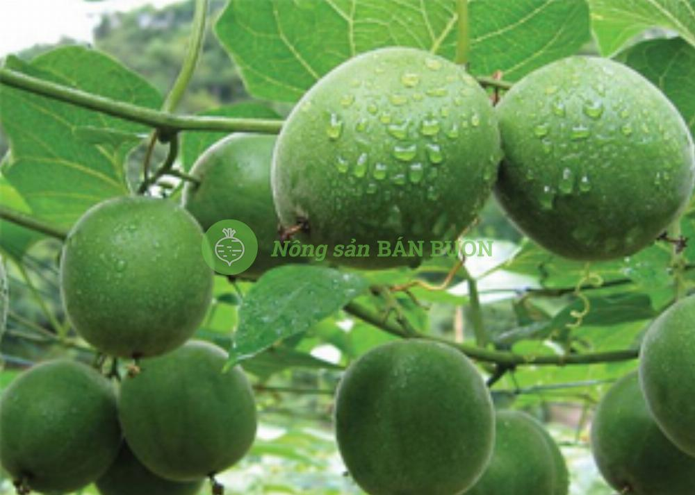 Cao khô Quả la hán-Luo Han Guo Extract