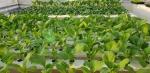 Những điều cần biết về trồng cây bằng phương pháp thủy canh ( Phần 1)